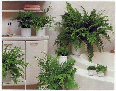 ideal-position-for-growing-ferns-high-humidity-of-a-bathroom